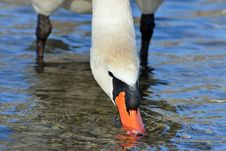 Free White Swan Stock Images - 31084704