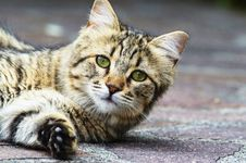Free Cat Royalty Free Stock Images - 31084869
