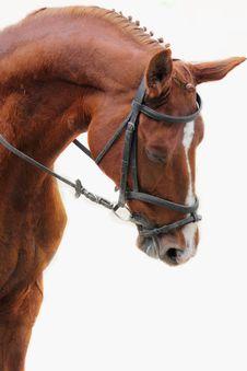 Portrait Of Arabian Stallion Stock Photography