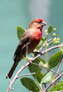 Free Red Bird Stock Photos - 31091573
