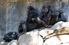 Free Chimpanzees Stock Image - 31091411