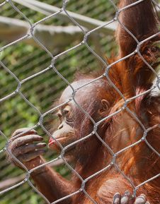 Free Orangutan Stock Image - 31091451