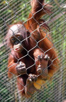 Free Orangutan Stock Images - 31091854