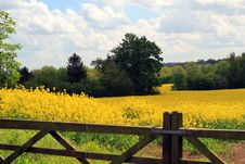 Yellow Rape Flower Field With Farm Gates. Stock Images