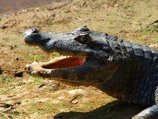 Free Alligator Royalty Free Stock Photos - 31096358