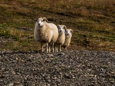 Free Sheep Triple Stock Image - 31097161