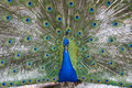 Free Peafowl Stock Photography - 3112922