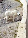 Free Mountain Goats Stock Photography - 3113282