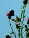Free Tiger Swallowtail On Thistle Stock Images - 3115714
