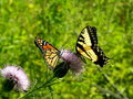 Free Tiger Swallowtail And Monarch Stock Image - 3115751