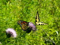 Free Tiger Swallowtail And Monarch Stock Photography - 3115782