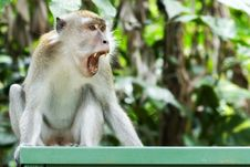 Free Monkey S Yawn Stock Photography - 3110002