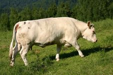Free Lonely Cow On Meadow Stock Photography - 3110472