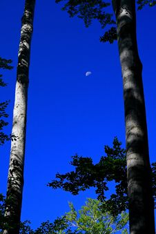 Free Moon And Beeches Royalty Free Stock Photos - 3111838