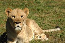 Free Lioness Stock Photos - 3112083