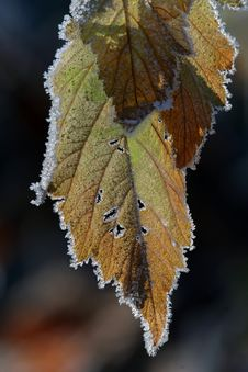 Free Frost On Fall Leaves Royalty Free Stock Photos - 3114878