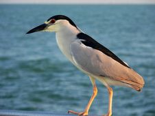 Free Night Heron Stock Image - 3115591