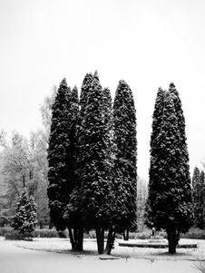 Free Pines Under Snow Stock Photo - 3115660