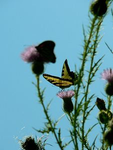 Tiger Swallowtail On Thistle Stock Images