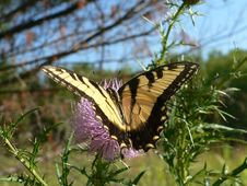Tiger Swallowtail On Thistle Stock Photography