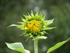 Free Sunflower Royalty Free Stock Photo - 3116745