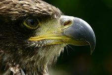 Close-up Of A Young Bald Eagle