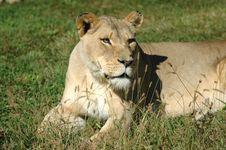 Free Lions Eyes Royalty Free Stock Photos - 3117798