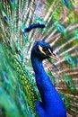 Free Peacock Stock Photo - 31106290
