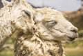Free Two Llamas Royalty Free Stock Photo - 31106635
