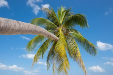 Free Coconut Palm Tree Royalty Free Stock Images - 31100259