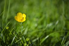 Free Close Up Of A Yellow Flower Royalty Free Stock Image - 31101126