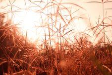 Free Sunrise Grass Royalty Free Stock Photography - 31104547