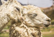 Free Two Llamas Royalty Free Stock Photo - 31106635