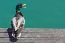 Free Duck On The Dock Royalty Free Stock Images - 31109429