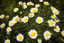 Free Lovely Chamomile Stock Image - 31109671