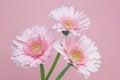 Free Transvaal Daisy Royalty Free Stock Photos - 31111668