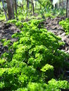 Free Young Green Plant Of Parsley Stock Photo - 31116270