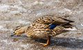 Free Female Mallard Duck Walks On Dirty Snow. Stock Photos - 31118493