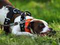 Free American Pitbull Terrier Royalty Free Stock Photography - 31119277