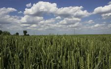 Free Grain Field Royalty Free Stock Images - 31110169