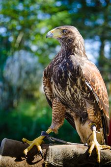 Free Stately Portrait Of A Captive Falcon Stock Image - 31113951