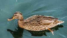 Free Female Mallard Duck. Stock Image - 31118471