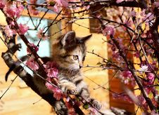 Kitten Climbed The Flowering Almonds Stock Photo