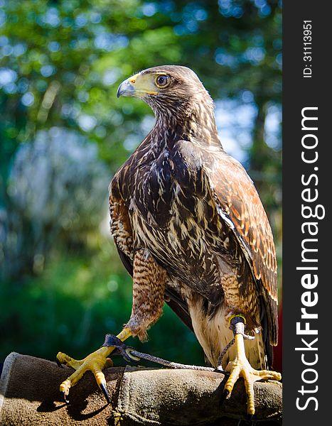 Stately portrait of a captive falcon