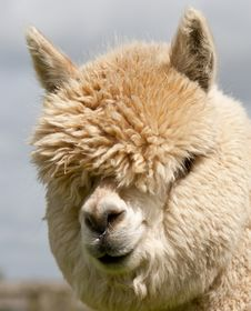 Free Llama Stock Photo - 31124290
