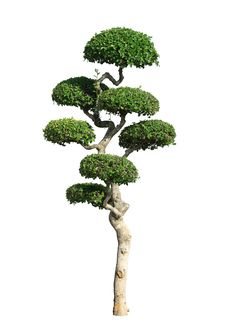 Free Trimmed Tree Stock Photos - 31126043