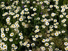 Free Lots Of Flowers A Camomile Royalty Free Stock Image - 31127966