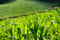 Free Close-up Of A Corn Field Royalty Free Stock Photography - 31121067