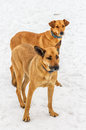 Free Two Dogs. Stock Images - 31132704
