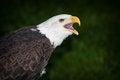 Free Bald Eagle Royalty Free Stock Image - 31135126